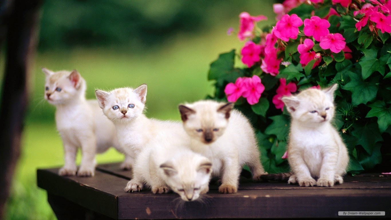 Desktop wallpaper hd widescreen free download 1366x768  cats